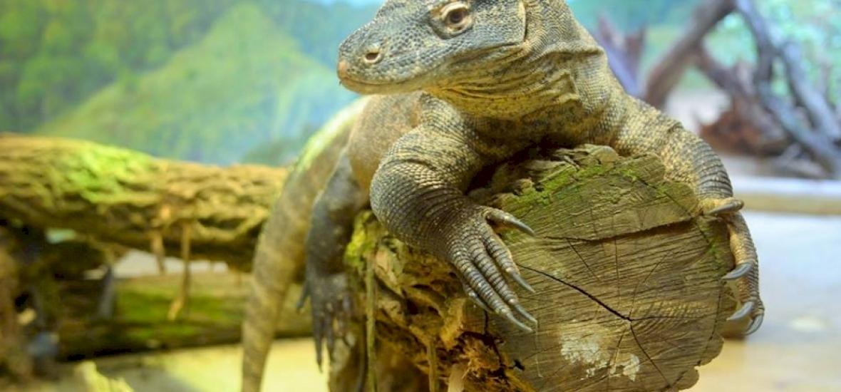 Komodói varánuszok érkeztek a Nyíregyházi Állatkertbe