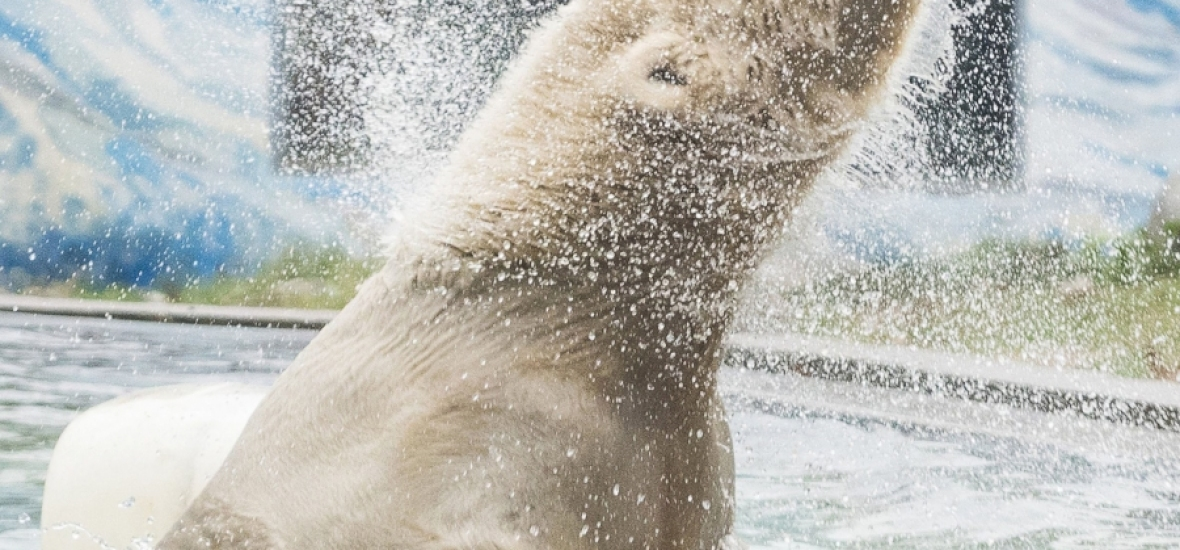 Új jegesmedve érkezett a Nyíregyházi Állatparkba