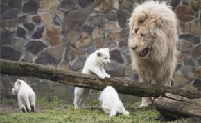 Bemutatták a fehér oroszlán hármas ikreket Nyíregyházán
