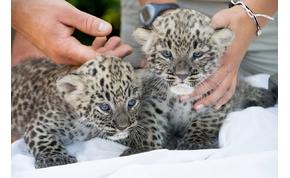 Bemutatták a Nyíregyházi Állatpark újszülött párduc ikreit