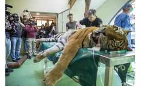 Rendhagyó műtétet végeztek egy tigrisen a Szegedi Vadasparkban