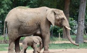 Kiselefánt született a Nyíregyházi Állatparkban