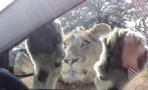 Ilyen, amikor egy oroszlán próbál bemászni a kocsidba