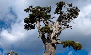 Elképesztő, hogy milyen öreg Európa legöregebb fája
