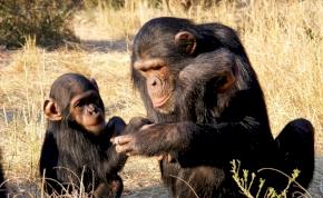 A nőstény csimpánzok megérzik a hímet, mely kölykükre támad