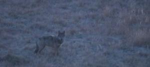 Farkasfalkát kaptak lencsevégre a Bükkben