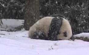 Elképesztően örül ez a kis panda a friss hónak