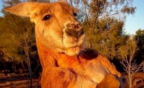 Elpusztult Roger, az izmaival világhírűvé vált kenguru