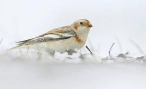 Ritka vendég a hósármány, de a hóval megjött a tundráról