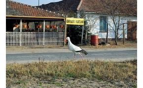 Összegyűlt a sok csirkenyak a kocsmába járó ásotthalomi gólyának