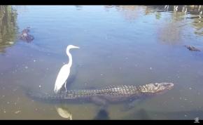 Kérem, ez itt egy aligátor hátán utazó kócsag