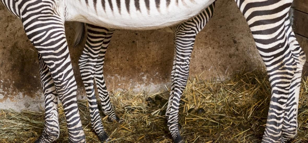 Grévy-zebra csikó született Nyíregyházán