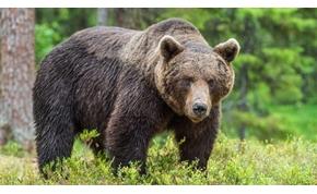 Medve támadt egy vadászó magyarra Székelyföldön