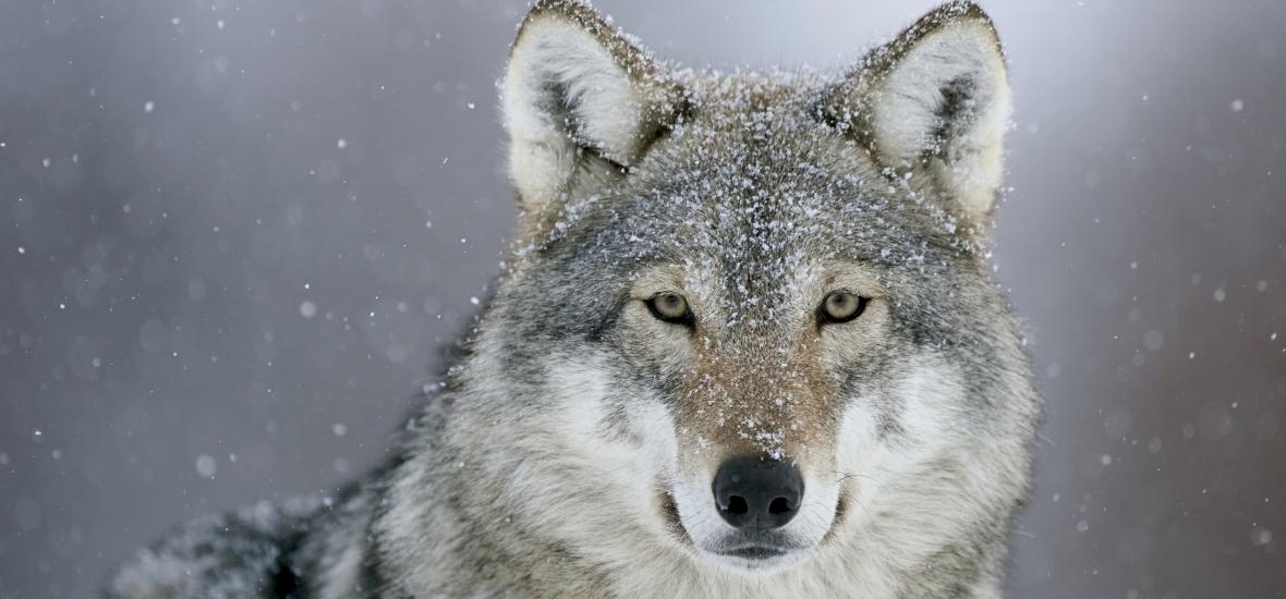 Farkasokat vettek föl az Aggteleki Nemzeti Park vadkamerái