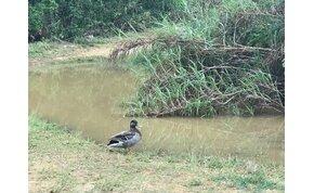 Elhunyt a világ valószínűleg legmagányosabb kacsája