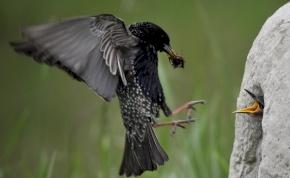 Riasztó mértékben pusztulnak a szántóföldi madarak