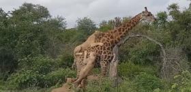 Cserfes unokaként csimpaszkodtak az oroszlánok a zsiráfon