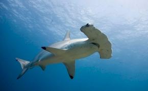 Kihalástól fenyegetett cápákat is felszolgálnak az angol éttermekben
