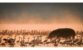 Repülőn menekítették az árván hagyott flamingó csemeték ezreit