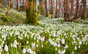 Kezdenek kibújni a hóvirágok, előre hozták az ünnepet Alcsúton
