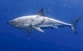 Félelmetes fotókat lőttek a nagy fehér cápáról