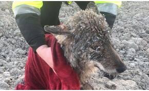 Kutyát mentettek ki a folyóból, farkas lett belőle