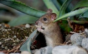 Génterápiával állították vissza egerek látását