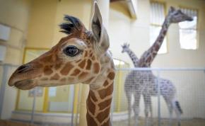Hazánkban egyedülálló zsiráf született a debreceni állatkertben