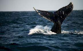 Négylábú bálna maradványaira bukkantak a szárazföldön