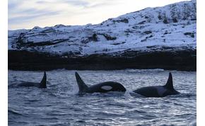 Putyin parancsára kiszabadítják hírhedt börtönükből a delfineket