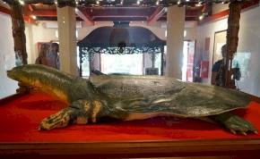 A szemünk láttára halhatott ki az egyik teknősfaj