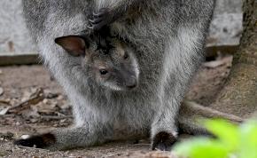 Kihalással fenyegetett faj született a debreceni állatkertben
