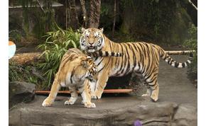 Ezért nem kéne a tigrishez benyúlkálni – videó