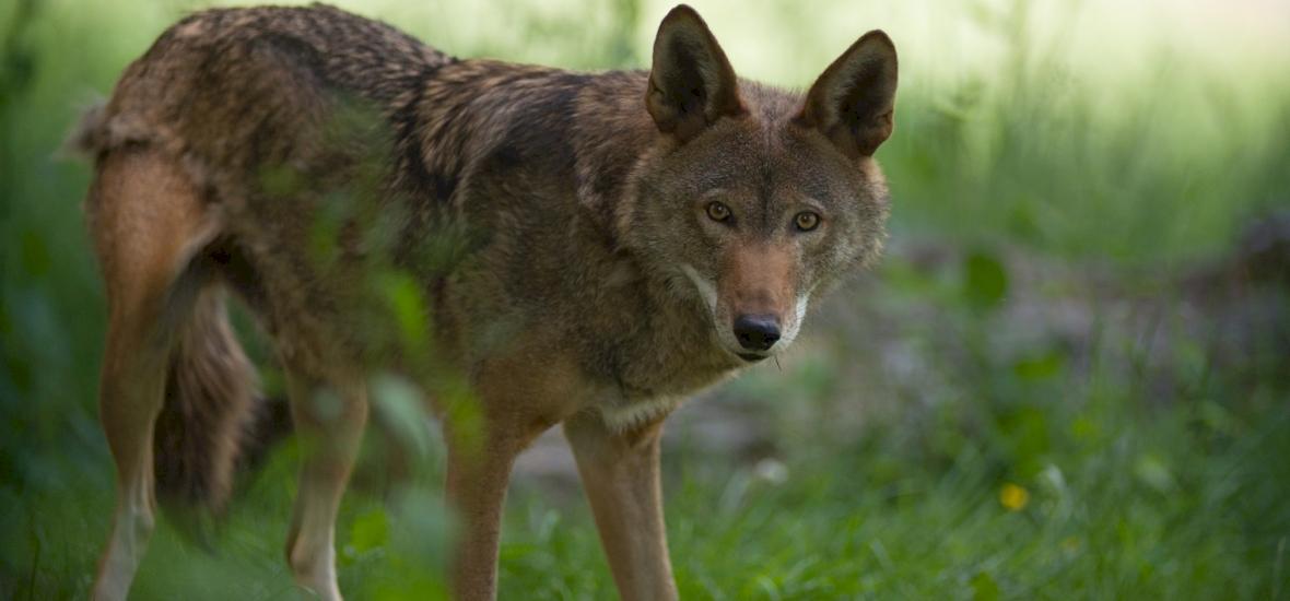 Visszahódítják az egyik nyugat-európai országot a farkasok