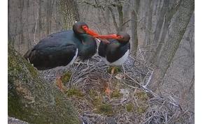 Megjött Tóbiás a Bibliából, kikel az első fekete gólya itthon – élő!