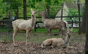 Vőlegényt kaptak a Miskolci Állatkert ritka szarvasai