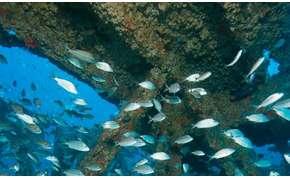 Trópusi halak sem bírják már a trópust, roncsokba költöznek – videó