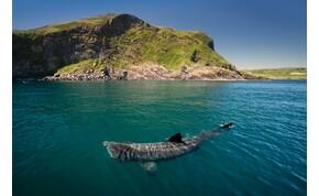 Visszaköltöztek Kaliforniába az óriáscápák, akik nem is olyanok