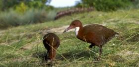 A természet csodája: a madár, amely 136 ezer éve kihalt, és mégis él