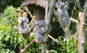 A kihalás szélére kerültek  koalák, sőt...