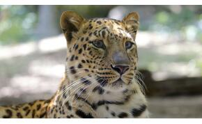 Leopárd ölt meg egy kétéves gyereket