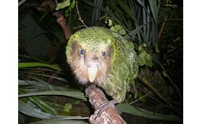 Eltűnhetnek a Földről a legkövérebb papagájok