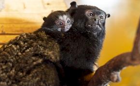 Íme a Nyíregyházi Állatpark újszülött tamarinja
