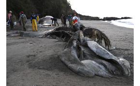 Titokzatos bálnapusztulás: százával veti őket partra a víz