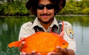 A WC-be lehúzták, majd a Niagarából kifogták a hatalmas aranyhalat