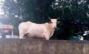 Egy indiai tehén beállt focizni a helyi srácokhoz – látni kell, hogy mi történt