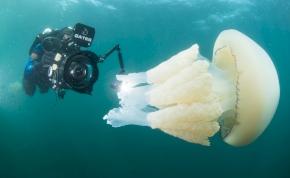 Videó: a búvár és a gigantikus medúza varázslatos randevúja