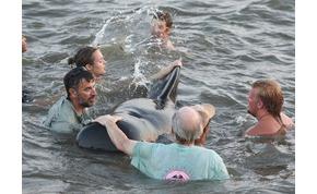 Az egész strand összefogott, hogy megmentse a partra sodródott bálnákat – videó