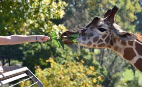 Hatalmas szerencséje volt a zsiráfra felmászó őrültnek – videó