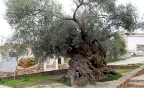 Elképesztő, 3000 éves ez a fa, de még mindig terem rajta olívabogyó